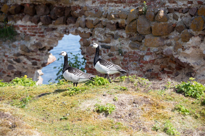 Linnut raunioilla