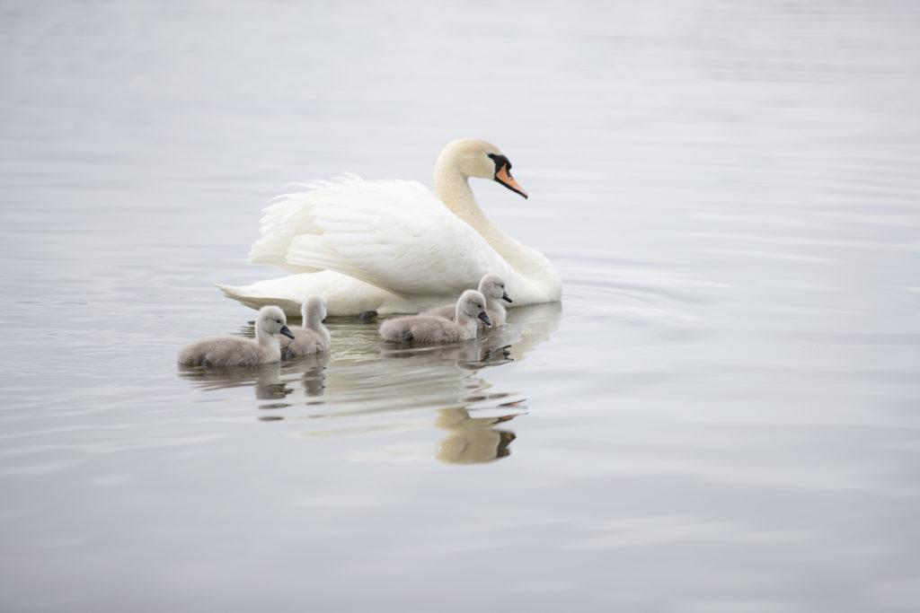 Laulujoutsen emo neljän poikasensa kanssa uimassa