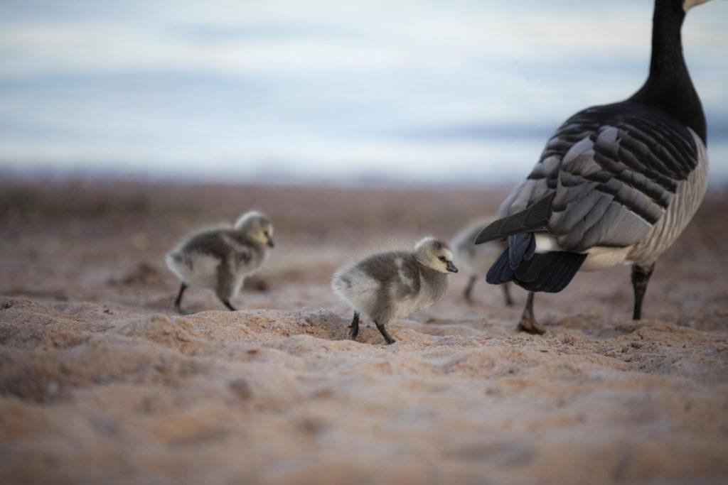 Valkoposkihanhi kolmen pörröisen poikasensa kanssa hiekkarannalla