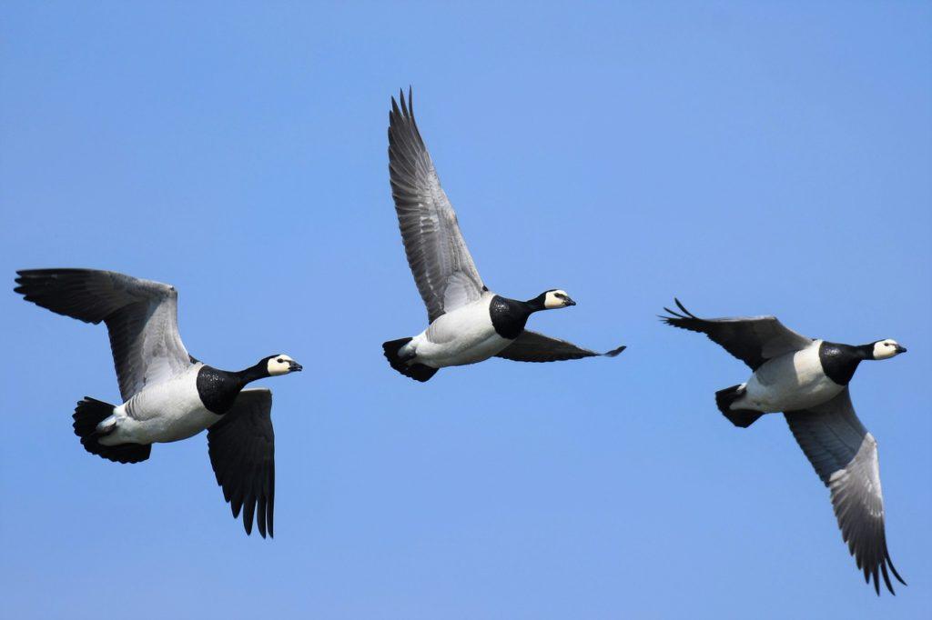 Kolme valkoposkihanhea lentävät peräkkäin sinistä taivasta vasten